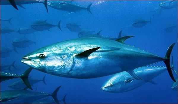أسماك التونة