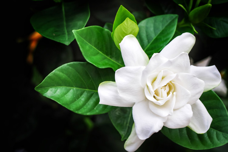 زهرة الغاردينيا
